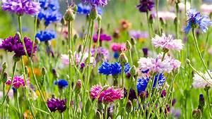 Wie Oft Blumen Gießen : eine wildblumenwiese anlegen und m hen ratgeber garten zierpflanzen ~ Orissabook.com Haus und Dekorationen