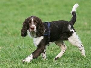 Springer Spaniel Puppy Weight Chart Growth English Springer Spaniel Puppy Weight Chart