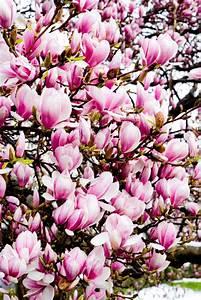 Langsam Wachsende Hecke : magnolie als hecke tipps zur sortenwahl anpflanzung ~ Michelbontemps.com Haus und Dekorationen