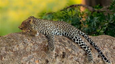 Leopard Is Lying Down On Rock In Green Background HD ...