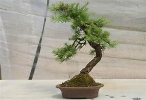 Pflege Bonsai Baum Indoor : bonsai b ume pflege bonsai baum pflege tipps bonsai ~ Michelbontemps.com Haus und Dekorationen