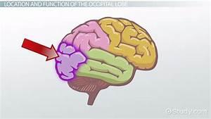 Occipital Lobe  Definition  Location  U0026 Function