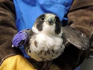 Peregrine Falcon #15-2336   The Wildlife Center of Virginia  Falcon