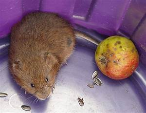 Comment Attraper Une Taupe : le campagnol ou rat taupier le connaitre ses d g ts s ~ Dailycaller-alerts.com Idées de Décoration