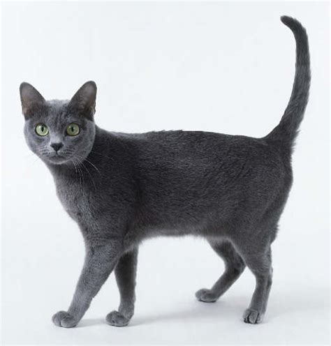 cat breed selector korat info personality kittens pictures