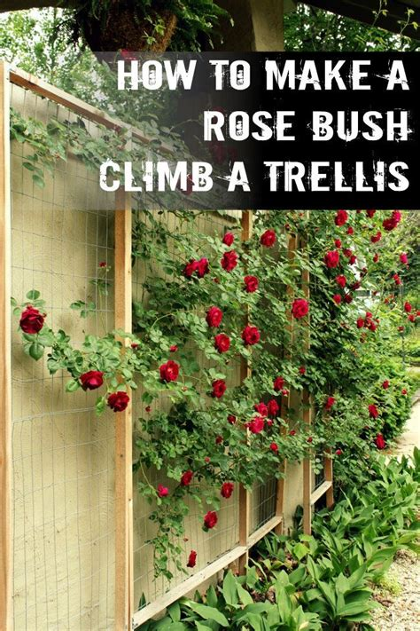 25+ Best Ideas About Climbing Roses On Pinterest