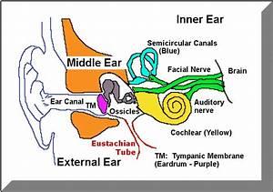 Ear Diagram 2 Producer Gif 749 U00d7526 Pixels
