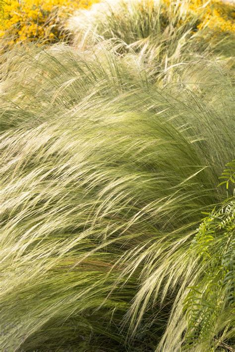 mexican feather grass 1000 images about warren wood the peterson garden on pinterest