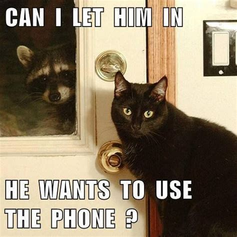 Talking Cat Meme - 30 best images about funny raccoons on pinterest cats funny and animal jokes
