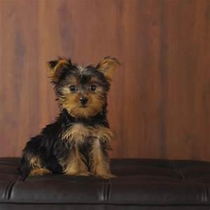 Maltese Yorkie Puppy Information - Pets