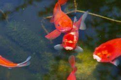 Goldfische Im Teich : goldfisch im gartenteich bewintern lassen das sollten sie beachten ~ Eleganceandgraceweddings.com Haus und Dekorationen