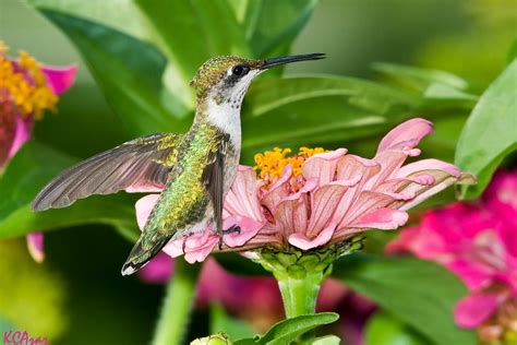 attracting hummingbirds to the garden creating a