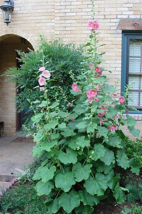 plantfiles pictures hollyhock happy lights alcea rosea