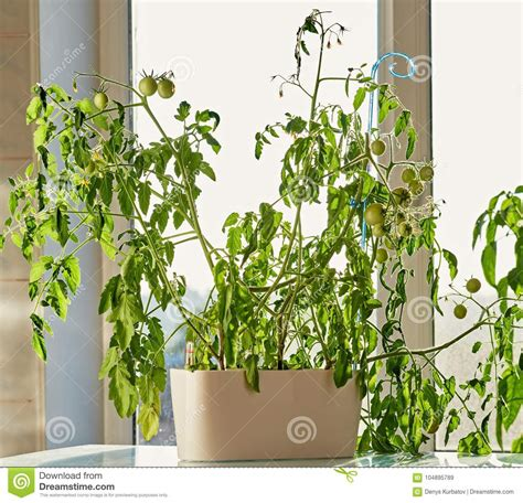 Growing Tomatoes Indoors On A Windowsill by Indoor Gardening Of Tomatoes Stock Image Image 104895789