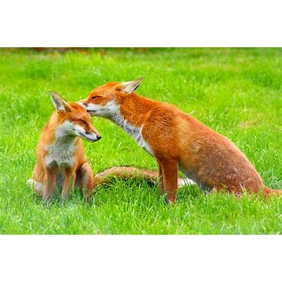 The red fox (Vulpes vulpes)pgcps mess - Reform Sasscer