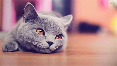Cat Russian Animals British Shorthair Cats Kitten