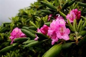 Rhododendron Blüten Schneiden : rhododendron im garten tipps zum pflanzen pflegen d ngen schneiden ~ A.2002-acura-tl-radio.info Haus und Dekorationen