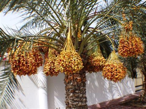 Large Medjool Date Palm Seedling Edible Fruit Phoenix