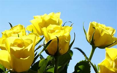 Yellow Roses Rose Backgrounds Wallpapers Dell Amicizia