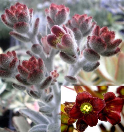 plants flowers 187 velvet leaf kalanchoe