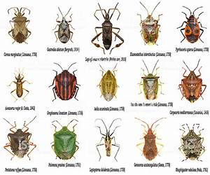 Set Of True Bugs Of Europe Hemiptera Stock Photo - Download Image Now