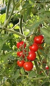 Plant Tomate Cerise : les vari t s de tomates jardiner avec jean paul ~ Melissatoandfro.com Idées de Décoration