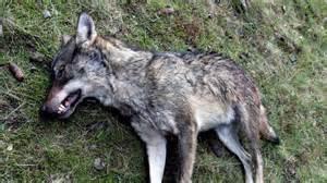 tirs contre le loup l arr 234 t 233 du pr 233 fet du var attaqu 233 3 provence alpes