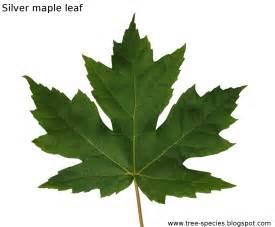 maple tree leaves the world 180 s tree species