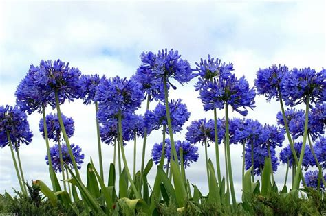 of nile flower lily of the nile 20 seeds flowers blue african lily agapanthus africanus ebay