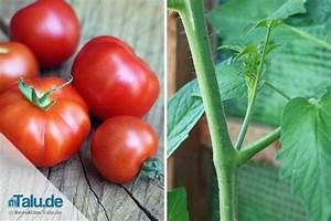 Tomaten Krankheiten Bilder : tomaten ausgeizen anleitung f r alle tomatensorten ~ Frokenaadalensverden.com Haus und Dekorationen