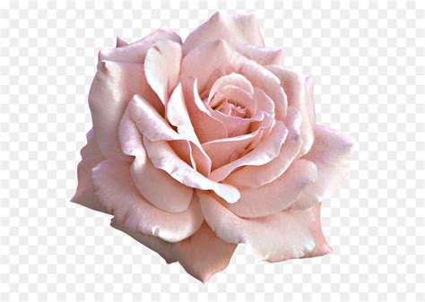 Large Light Pink Rose Png