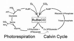 Everything You Need To Know About The Calvin Cycle