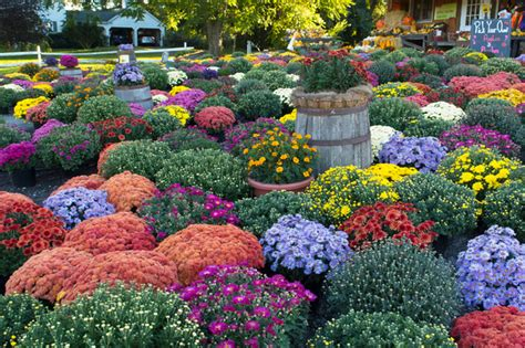 planting chrysanthemums in the fall plant bake yard sale south jersey regional animal shelter