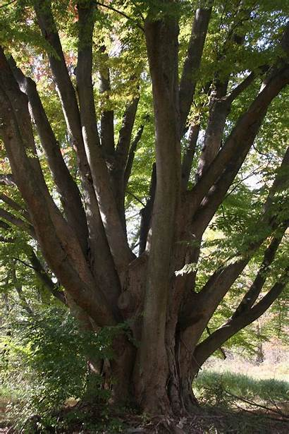 Zelkova Delaware Trees Tree State Delawaretrees