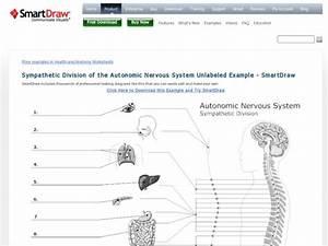 Sympathetic Division Of The Autonomic Nervous System