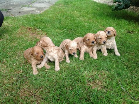 Non Shedding Dogs Uk by Miniature Cavapoo Puppies Low Non Shedding For Sale
