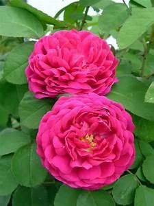 39rose de resht39 1950 persien damaszenerrose for Affiche chambre bébé avec rosier buisson grandes fleurs remontant
