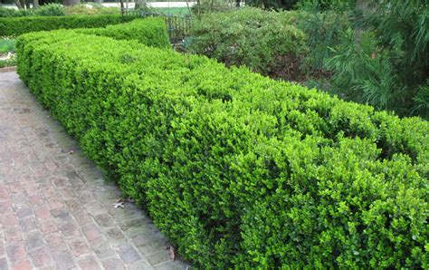 hedge bushes 10 plants that make great hedges homespree