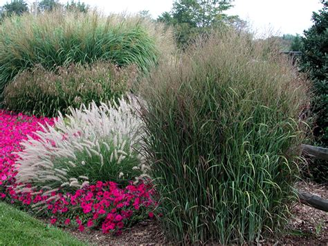 landscaping grasses photos ornamental grasses