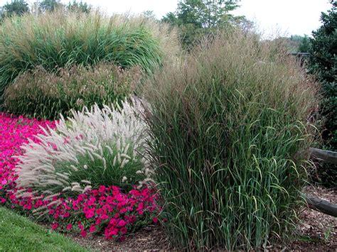 ornamental grass landscape ornamental grasses