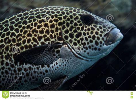 grouper spotted noumea caledonia aquarium
