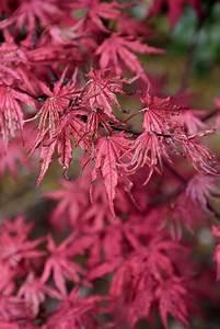 amagi shigure japanese maple acer palmatum 39 amagi shigure