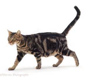 walking cat tabby cat walking photo wp07709