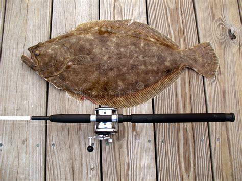 doormat flounder tropy doormat flounder stock photos image 3630373