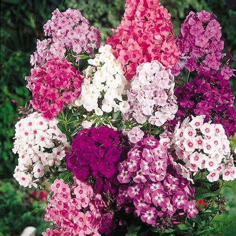 Blumen Für Sonnenbalkon by Phlox Fragrant Collection Phlox Paniculataperennial Phlox