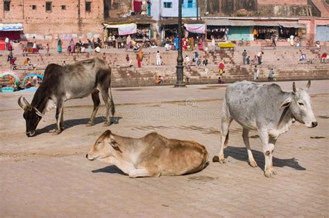 indian cows drawing water    editorial stock