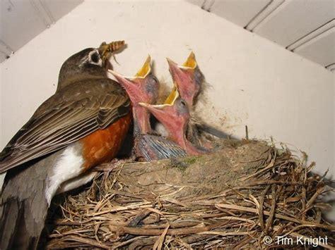 32 best robin bird american red robin images on pinterest