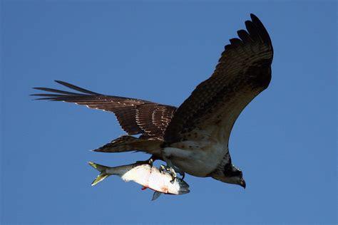 Eagle In Flight Wallpaper Wildwatchcams Ospreys Washington Department Of Fish Wildlife