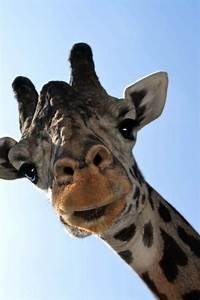 Giraffe's death touches public - The Morning Call  Giraffe