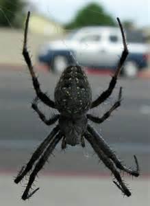 Large Minnesota Spiders